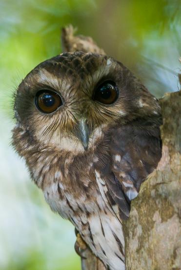 Cuban-Screech-Owl