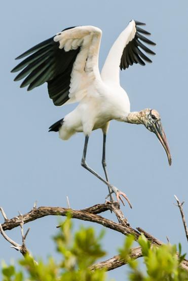 Cuban-Wood-Stork