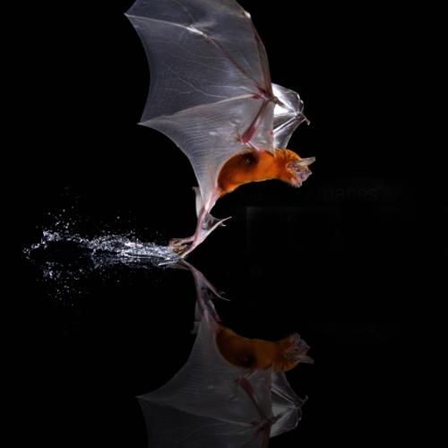 Greater Bulldog Bat (Noctilio leporinus)